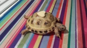 Valentine's tortoise